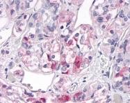 GTX71511 - Olfactory receptor 2H2