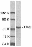 GTX74225 - TNFRSF25 / DR3 / TRAMP