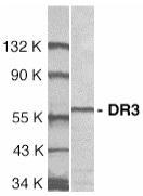 GTX74227 - TNFRSF25 / DR3 / TRAMP