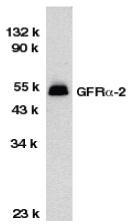 GTX74268 - GFRA2 / GDNFR-beta