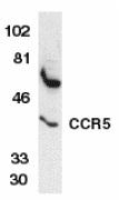 GTX74371 - CD195 / CCR5