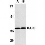 GTX74388 - CD257 / BAFF