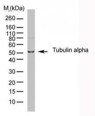 GTX76511 - alpha Tubulin / TUBA1B