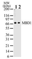 GTX76673 - MBD1