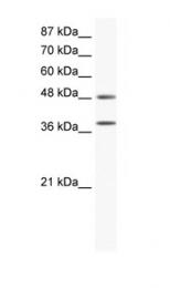 GTX77721 - MAP kinase p38 alpha / MAPK14