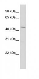 GTX77781 - HNF1 alpha / TCF1