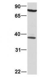 GTX77783 - DNA-binding protein A