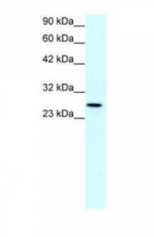 GTX77837 - Claudin-13 / CLDN13