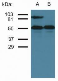 GTX80022 - CD54 / ICAM1