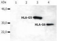 GTX80261 - HLA class I  alpha G / HLA-G