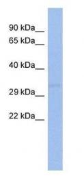 GTX80394 - Chorionic Gonadotropin (hCG)