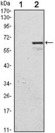 GTX80412 - CDKN1C / KIP2