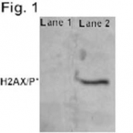 GTX80694 - Histone H2A.x