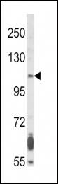 GTX81341 - CD332 / FGFR-2