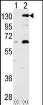 GTX81371 - NOMO1