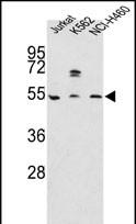 GTX81374 - Apolipoprotein A IV / ApoA4
