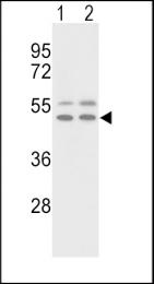 GTX81433 - Vitronectin