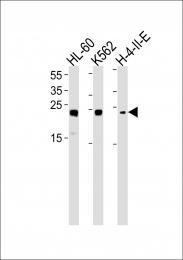 GTX81582 - HMGB2 / HMG2