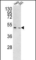 GTX81644 - TMPRSS3