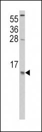 GTX81767 - MCP1 / CCL2
