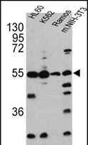GTX82536 - Caspase-10