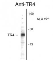 GTX82576 - NR2C2
