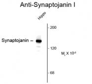 GTX82587 - Synaptojanin-1 / SYNJ1