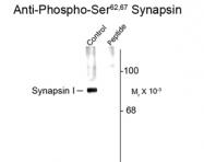 GTX82591 - Synapsin-1