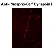 GTX82592 - Synapsin-1