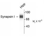 GTX82594 - Synapsin-1