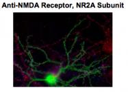 GTX82634 - NMDA Receptor 2A