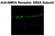 GTX82636 - NMDA Receptor 2A