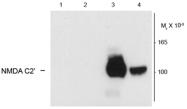 GTX82638 - NMDA Receptor 1