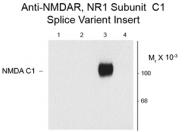 GTX82640 - NMDA Receptor 1