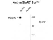 GTX82651 - mGluR7 / GRM7