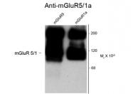 GTX82652 - mGluR5 / GRM5
