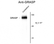 GTX82663 - GRIP1-associated protein 1
