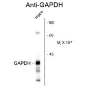GTX82666 - GAPDH2