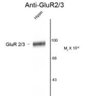 GTX82667 - Glutamate receptor 2 / GLUR2