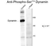GTX82703 - Dynamin-1