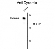 GTX82704 - Dynamin-1