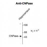 GTX82719 - CNPase