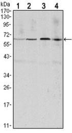 GTX82758 - Cyclin B1