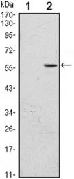 GTX82773 - CD276 / B7H3