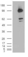 GTX82973 - CD318 / CDCP1