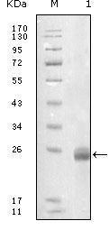 GTX83040 - Fibulin-5