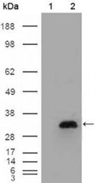 GTX83043 - Apolipoprotein A I (APO AI)