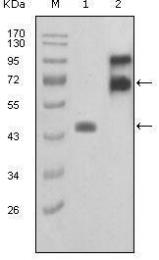 GTX83044 - Fibulin-2