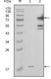 GTX83046 - Visfatin / NAMPT