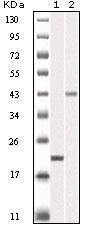 GTX83084 - Aurora kinase B